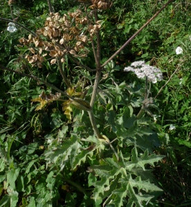 hogweed with seeds