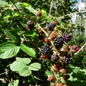 blackberries (4) - Copy