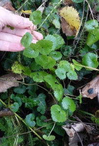 Ground Ivy in winter