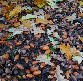 acorns and autumn leaves