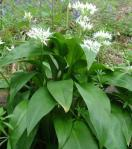 wild garlic flw