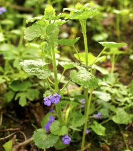 ground ivy 3