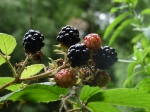 2013 bumper blackberries - Copy