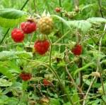 wild raspberries Aug - Copy