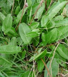 Common sorrel