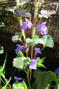 Ground ivy flowering beautifully