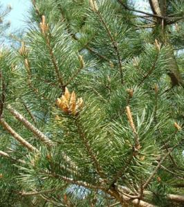 scots pine needles.jpg.png