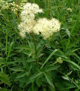 meadowsweet flower1
